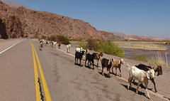Tráfico intenso  -  Heavy Traffic (Carlos J. M.) Tags: salta argentina pastores shepherds cabras goats road rutas canon dslr