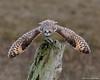 Off to the Races (wmckenziephotography) Tags: shortearedowl nature raptor birdinflight owl