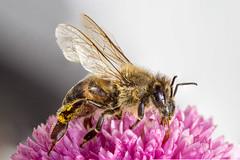 Polen hunter (dracikgoz) Tags: polen hunter