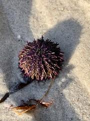 Urchin at Asilomar Beach (skylarprimm) Tags: beach california monterey nature pacific pacificocean urchin ✓