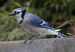 _Q8A0866PrelimBJSmall (birdbug3) Tags: cyanocitta cristata