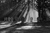 In Gedenken (chipdetty) Tags: sachsenanhalt magdeburg landeshauptstadt westfriedhof friedhof cemetery mist sunbeams lichtstrahlen park trees bäume landstrase dunst gräber bw bnw blackandwhite