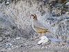 Chukar Partridge (Alectoris chukar) (gilgit2) Tags: avifauna birds canon canoneos7dmarkii category chukarpartridgealectorischukar donedas fauna feathers geotagged gilgitbaltistan hunza imranshah location pakistan species tags tamron tamronsp150600mmf563divcusd wildlife wings gilgit2 alectorischukar