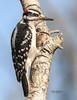 HAIRY WOODPECKER  F74-189 (francesbrown266) Tags: woodpecker hairywoodpecker pennypacktrust pa francesbrown photography nikon d7200 coth5