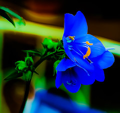 (chapdav) Tags: flower blueyellow green bud canon6d