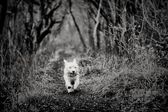 Cairn Terrier puppy (Bar Ba Pa Pa) Tags: monochrome mono forrest puppy cairnterrier blackandwhite trees dogs playing fun