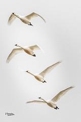 Swans in Flight (JGemplerPhotography) Tags: swans birds white