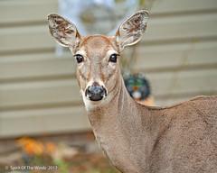 "Hello There !! (jimgspokane) Tags: deer whitetaildeer wildlife washingtonstate ""nikonflickraward"""