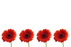 Simplicity (tanyalinskey) Tags: minimalist gerbera flowers flower flora 7dwf onpurewhite smileonsaturday bright