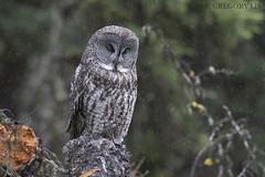 Great Gray Owl on a rainy day (Gregory Lis) Tags: greatgrayowl strixnebulosa gorylis gregorylis nikond810 nikon britishcolumbia owl rain