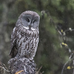Great Gray Owl on a rainy day thumbnail