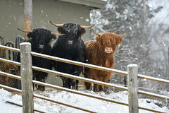 Well hello there (mirri_inc) Tags: cow bull winter snow white fence