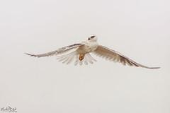 Sky Ballet DSC_6959 (BlueberryAsh) Tags: craigieburn birds blackshoulderedkite raptor nativebird birdofprey birdinflight hover skydancer grace white nikond500 tamron150600