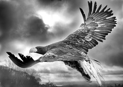 1S9A5606 (saundersfay) Tags: rubber wellingtons eagle vulture talons claws flying feathers prey birds