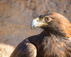 Tempest (droy0521) Tags: goldeneagle wildlife winter bird birdsofprey outdoors sunrise rocks colorado places animal