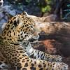 jaguar | loro parque | tenerife (John FotoHouse) Tags: jaguar 2108 puertodelacruz tenerife dolan flickr fujifilmx100s fuji johnfotohouse johndolan leedsflickrgroup loroparque color colour copyrightjdolan
