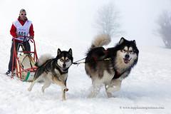 Sled dog race (My Planet Experience) Tags: alaskan malamute dog animal nordic sled snow retordica race racing running musher mushing pulka pulk sledge sleigh white winter alaska yukon siberia myplanetexperience wwwmyplanetexperiencecom