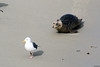 Hey you! Wait for me! (fotowayahead) Tags: seal seagull lajolla
