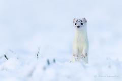 Hermine - Mustela erminea (PatNik01) Tags: france mustelaerminea blanc carnivore doubs hermine mammifere neige nikon mustélidé