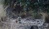 Tiger- T-84 Arrow-Head (praveen.ap) Tags: t84 arrowhead arrow head 84 4 zone4 ranthambhore ranthambhoretigerreserve ranthambore ranthamborenationalpark ranthamboretigerreserve ranthambhorenationalpark tiger bengaltiger rajasthan