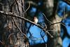 IMG_3741 (SweetMeow) Tags: bluebird home yard hiltonhead bird