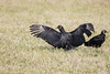Look Ma, No Hands! (SSnapDragon) Tags: vulture vultures bird birding birds birder fluvanna virginia sigma canon