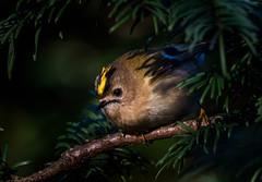 Goldcrest (PINNACLE PHOTO) Tags: regulusregulus goldcrest bird small surrey stripe yellow male red flash feathered sigma 150600c canon martinbillard