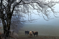 Winter day (Rita Eberle-Wessner) Tags: landschaft landscape gras grass meadow pasture weide wiese nebel fog baum tree trees bäume animals tiere kühe cows hügel hill landwirtschaft agriculture kuh cow