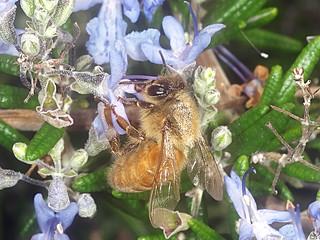 European Honey bee P1033707