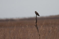 Short-eared Owl (sjdavies1969) Tags: strigidae birds animals vertebrates shortearedowl animalia asioflammeus owls