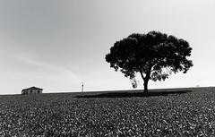 Plantação de soja (9868) (Jorge Belim) Tags: 1022 pb tree morada casa