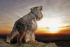 dont  look back into the sun (donnyhughes) Tags: miniature schnauzer dog sunset