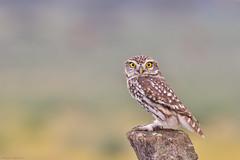 El anillado (sergio estevez) Tags: aves bokeh color desenfoque fauna lajanda mochuelo naturaleza nikonafs300mmf4 kenko15x posadero pajaro sergioestevez