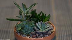 Cactus and Succulent Collections (kuntheaprum) Tags: cactus succulent indoorplant nikon d750 samyang 85mm f14 flower bokeh