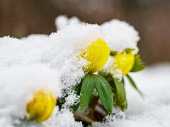 Waiting for the sun to rise (Martin von Ottersen) Tags: sel90m28g winterlinge winter aconite eranthis hyemalis snow schnee frühblüher