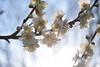 20180302_060_2 (まさちゃん) Tags: 白梅 光 透過 雌しべ 雄しべ 雌蕊 雄蕊 春