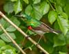 Southern double-collared Sunbird (wmckenziephotography) Tags: collaredsunbird birdsofafria sunbird
