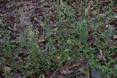 jdy090XX20170331a1335Bias-1 stop.jpg (rachelgreenbelt) Tags: ghigreenbelthomesinc stellariachickweed usa eudicots greenbelt northamerica midatlanticregion ouryard cultivarweednativenaturalplants stellariaall naturallyoccurringplantorweed ordercaryophyllales maryland americas familycaryophyllaceae caryophyllaceae caryophyllaceaefamily magnoliophyta naturallyoccurringplant chickweed floweringplants spermatophytes weed