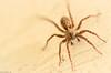 くもしゃん (March Hare1145) Tags: spider 蜘蛛 虫 insect