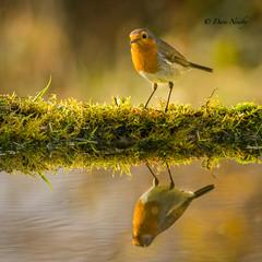 What a pond reveals #Robin (davenewby123) Tags: robin birds in england united kingdom rspb wild wirral burton naturereserve nature bullfinch bluetit j pond lake river greaterspottedwoodpecker merseyside unitedkingdom animal outdoor bird songbird davenewby canon400mmf56lusm davidnweby