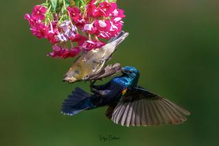 Marital Arguments ( Purple Sunbird pair )