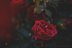 La protagonista (Conserva tus Colores) Tags: conservatuscolores chile flores photographers photographerontumblr art lovenature rosas roses flowers details red beautiful canon canongirl canonchile fotografía naturaleza nature naturelovers