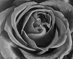 Beautiful Rose!!!🌷🌷🌷 (LeanneHall3 :-)) Tags: blackandwhite rose rosepetal petals swirlypetals closeup closeupphotography macroextensiontubes macro macrophotography canon 1300d
