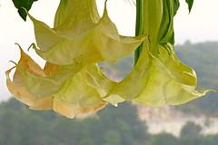 Datura View! ('cosmicgirl1960' NEW CANON CAMERA) Tags: flowers worldflowers nature parks gardens spain ojen espana andalusia costadelsol yabbadabbadoo travel holidays datura yellow green orange
