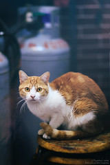 MAUD3025 (mau-daban) Tags: taiwan 臺灣 cat 貓 貓咪 喵 喵咪 kitty canon canon5dmk3 ef85mmf12lii