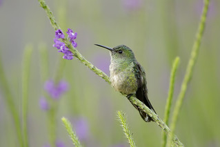 Scaly-breasted Hummingbird (Phaeochroa cuvierii)