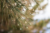 Gotas navideñas (Letua) Tags: mendoza agua agujas drops gotas green lluvia naturaleza nature needles paramillos pine pino summer verano verde water