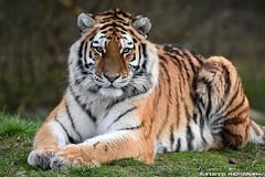 Siberian tigeress - Safaripark Beekse Bergen (Mandenno photography) Tags: dierenpark dierentuin dieren animal animals siberian siberische tiger tijger tigers tijgers safari safaripark bergen beekse ngc nederland netherlands nature