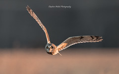 Sort Eared Owl (stephenwalshphoto) Tags: