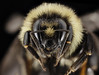 Bombus ternarius, F, Face, NY, Franklin County_2014-07-01-16.25 (Sam Droege) Tags: zerenestacker stackshot geologicalsurvey unitedstatesgeologicalsurvey departmentoftheinterior droege biml beeinventoryandmonitoringlaboratory bug bugs canon closeup macro insect patuxentwildliferesearchcenter pwrc usgs dofstacking stacking entomologist canonmpe65 taxonomy:binomial=bombusternarius animals animal bee bees apoidea hymenoptera pollinator nativebee entomology macrophotography bumblebee bumblebees adirondacks newyork mountains